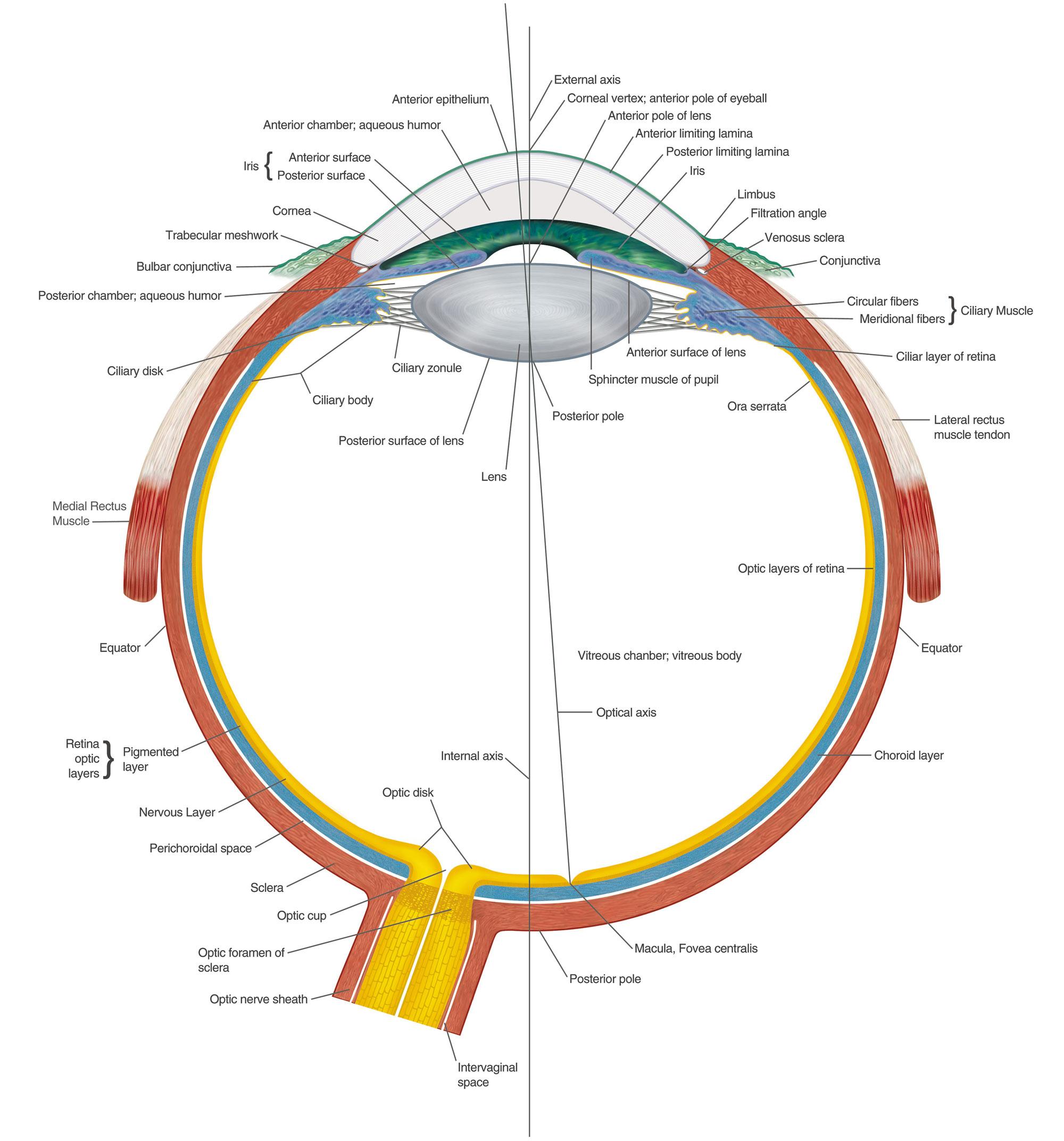 Schön Wolf Eye Anatomy Galerie - Physiologie Von Menschlichen ...